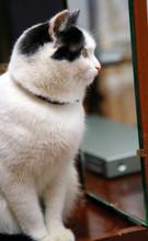Beautiful Black White Cat Looking To Mirrow