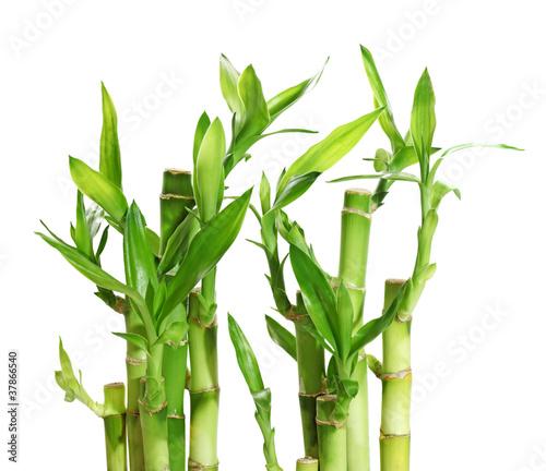 In de dag Bamboo Lucky Bamboo