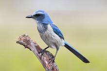 Endangered Florida Scrub-Jay