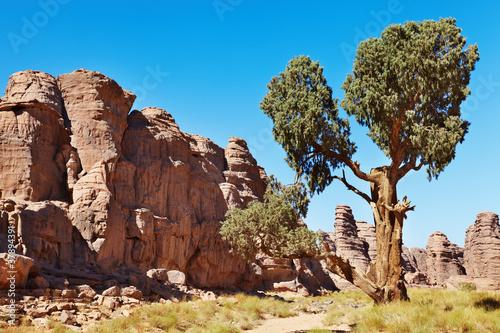 Poster Algérie Saharan Cypress, Tassili N'Ajjer, Algeria