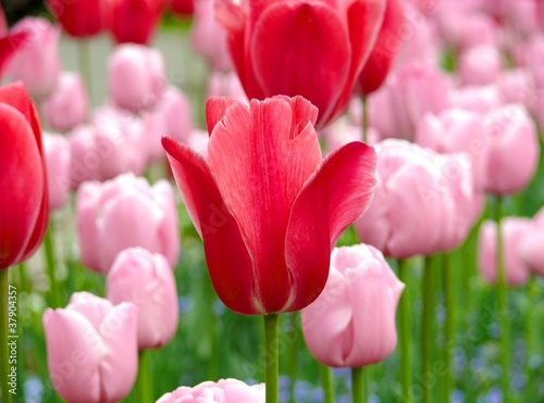 Photo  Many fresh bloom pink tulips in spring day