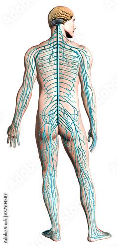 Fotografía  Human nervous system diagram.