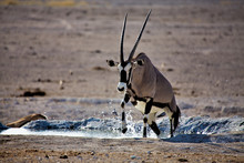 An Oryx Going Out Of The Water In Etosha National Park Namibia