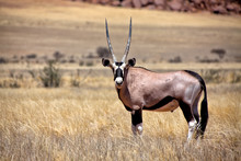An Oryx In The Namib Naukluft National Park Namibia Africa