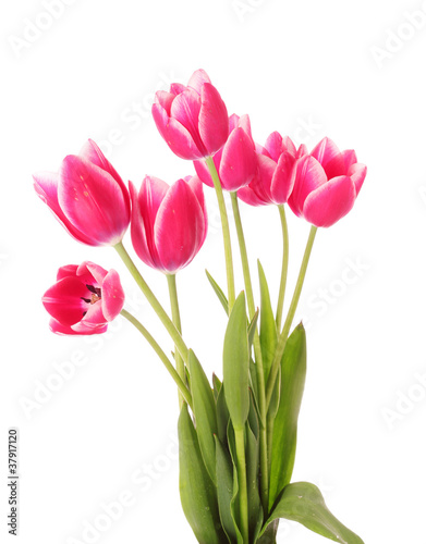 Poster Fleuriste Red tulips on white background