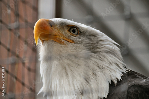 Fotografie, Obraz  Bald Eagle in Rehabilitation Center