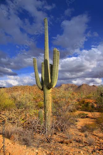 Papiers peints Cactus Tall cactus plant in Sonora desert in Arizona