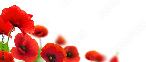 Poppy flowers, poppies white background. Environmental