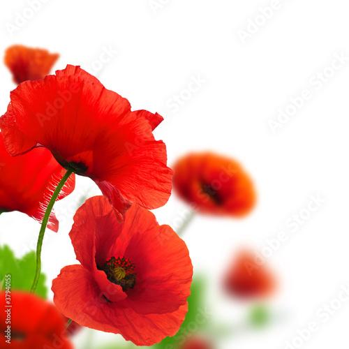 Poppies white background Environmental design