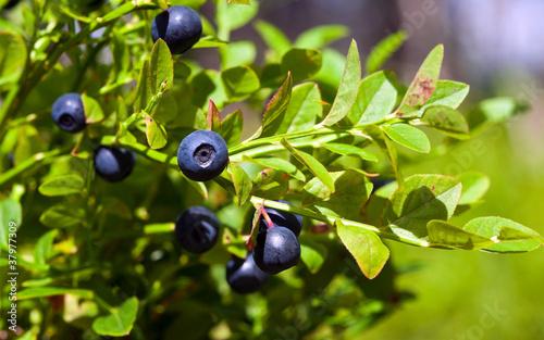 Fotografija Bush of a ripe bilberry in the summer closeup