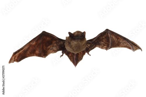 Fotografie, Obraz  Fledermaus beim Fliegen