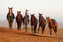 Horses In Desert Near  Pyramid...