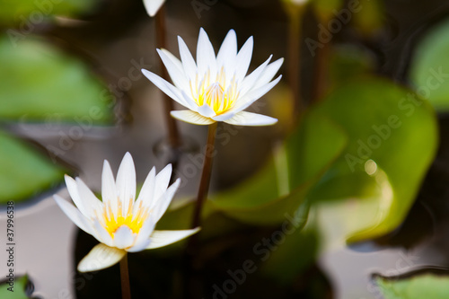 Fotografering  Water Lily