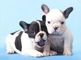 Fototapeta Dogs - French bulldogs Puppies
