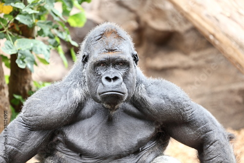 Photo  Gorilla - silverback gorilla