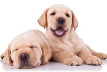Two Adorable Little Labrador R...