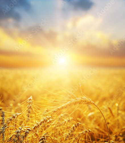 Deurstickers Cultuur golden wheat field and sunset