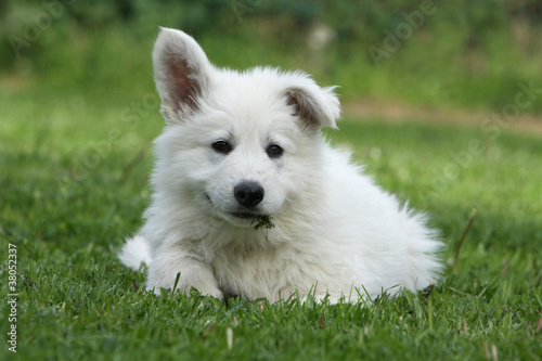 Fotografía  stranges ears of the young white swiss shepherd dog