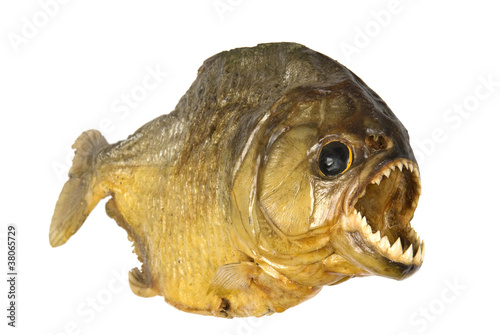 Red Belly Piranha on white background Fototapet