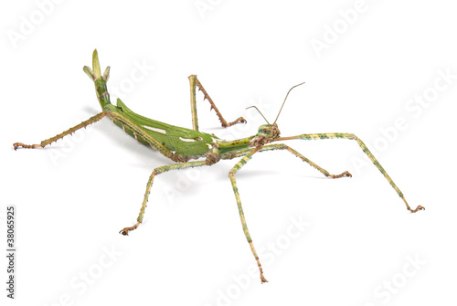 Photo  Giant Goliath Stick Insect on white background