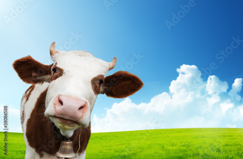 Photo Stands Cow cow and field of fresh grass