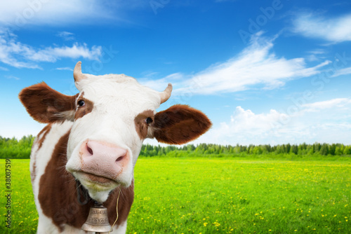 Tuinposter Koe cow and field of fresh grass