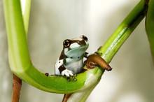 Joung Amazon Milk Frog