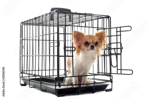 Photo chihuahua en cage