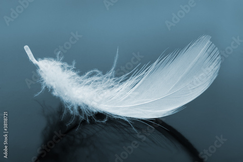 Poster Cygne Feather