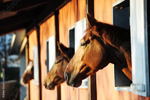 Fototapeta Horses in their stable obraz