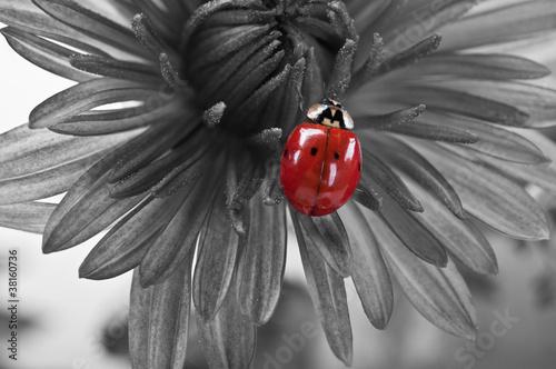 biedronka-na-kwiacie