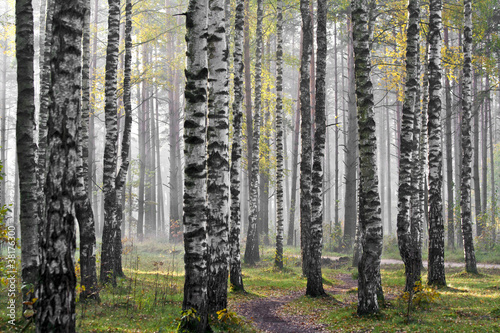 Foto op Aluminium Berkbosje Birch wood