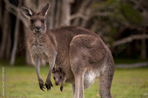 In de dag Kangoeroe Kangaroo Mom with Baby Joey in Pouch