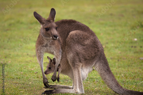 In de dag Kangoeroe Kangaroo Female with Baby Joey in Pouch