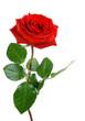 Leinwandbild Motiv Die perfekte Rose