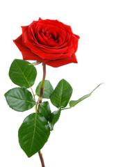 Fototapeta Die perfekte Rose