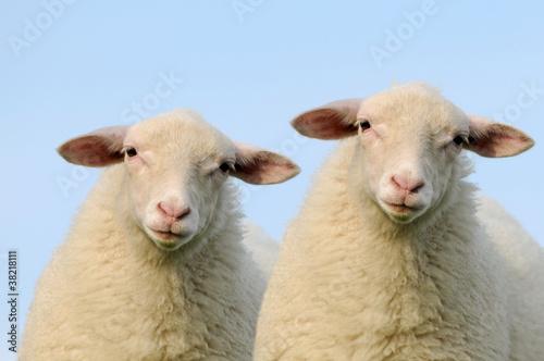 Foto op Aluminium Schapen Zwei Schafe