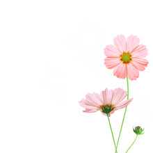 Pink Moscos Flowers Dicut Isol...