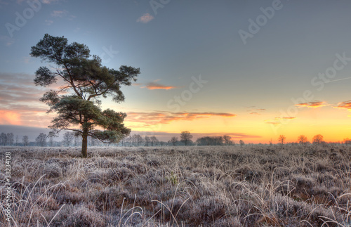 Fotografia, Obraz  Scots Pine on frozen heath.