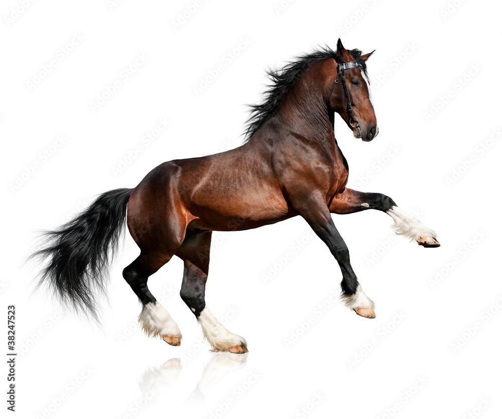 Fototapeta Bay horse isolated on white background