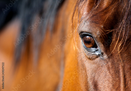 Leinwand Poster Eye of Arabian bay horse