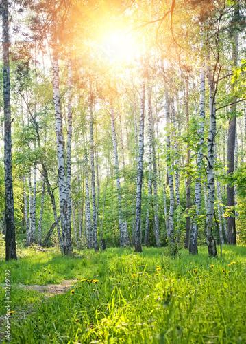 Spoed Fotobehang Berkbosje Spring sunny forest