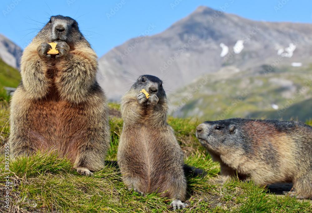 Fototapety, obrazy: Alpine Marmot (Marmota marmota)