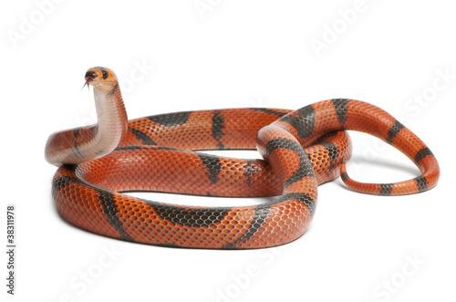 Photo Hypomelanistic aberrant Honduran milk snake