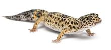 High Yellow Leopard Gecko, Eub...