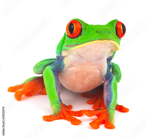 Tuinposter Kikker red eye treefrog