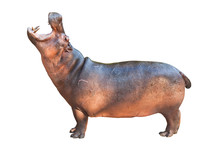 Hippopotamuses Isolated On Whi...