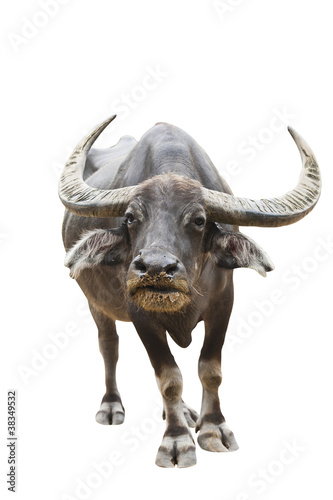Thai buffalo Isolated on white with clipping path