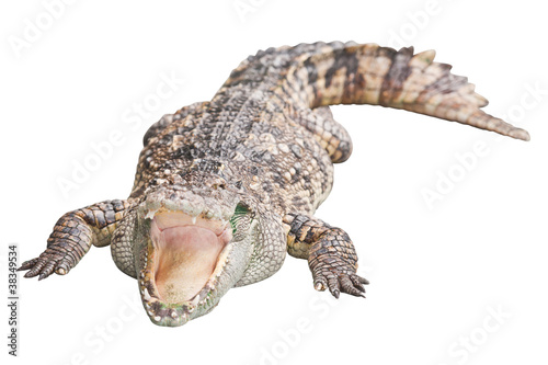 Foto op Plexiglas Krokodil Crocodile isolated on white with clipping path