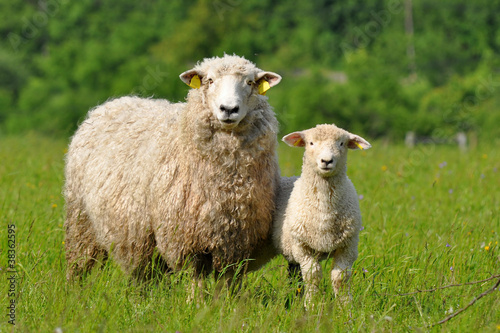 Fotografie, Obraz  sheep and lamb